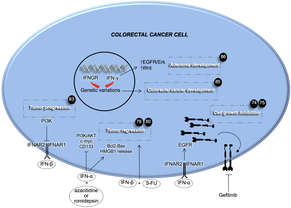 Frontiers Role Of Type I And Ii Interferons In Colorectal Cancer And Melanoma Immunology