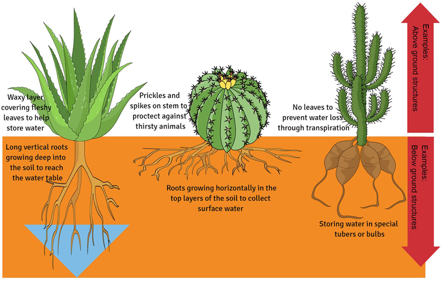 Figure 1 - Extreme structural adaptations found in plants to combat water loss and store more water.