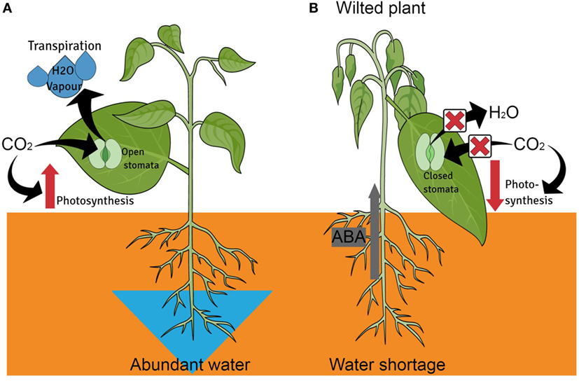 Figure 2 - Internal defenses of plants under water stress.
