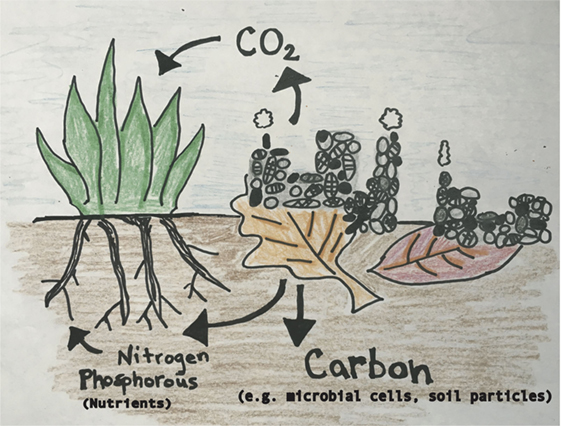 Figure 1 - Microbial communities live on dead plant leaves and decompose the leaves.