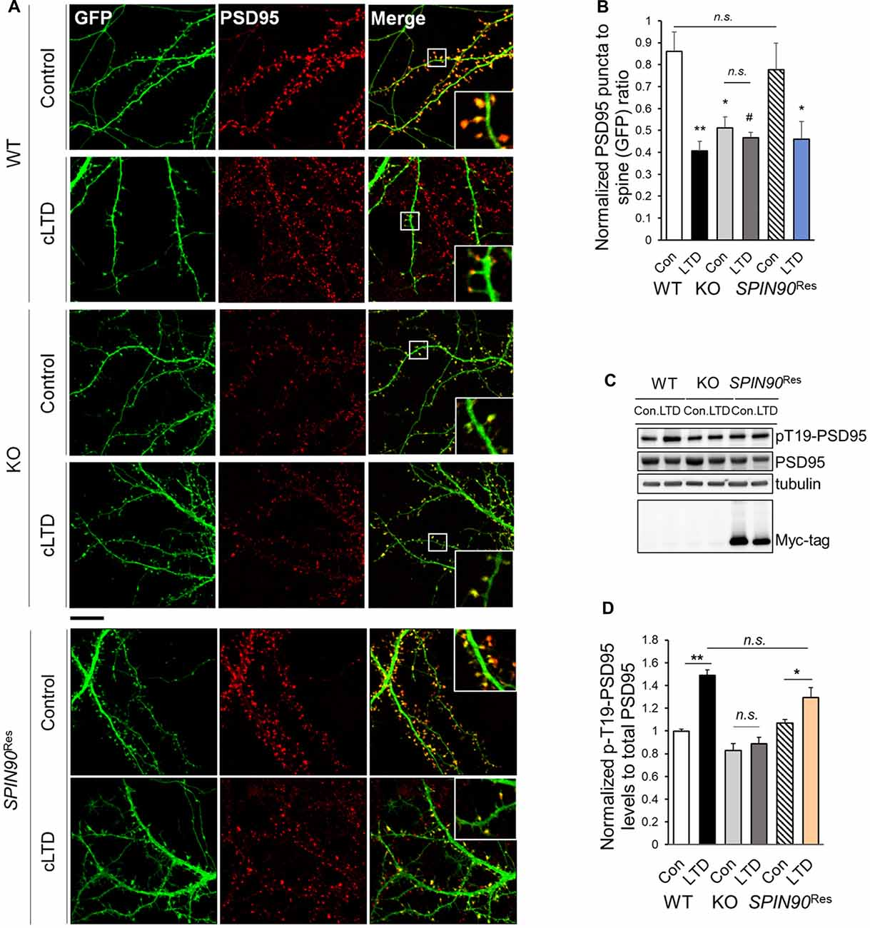Frontiers | SPIN90 Modulates Long-Term Depression and Behavioral