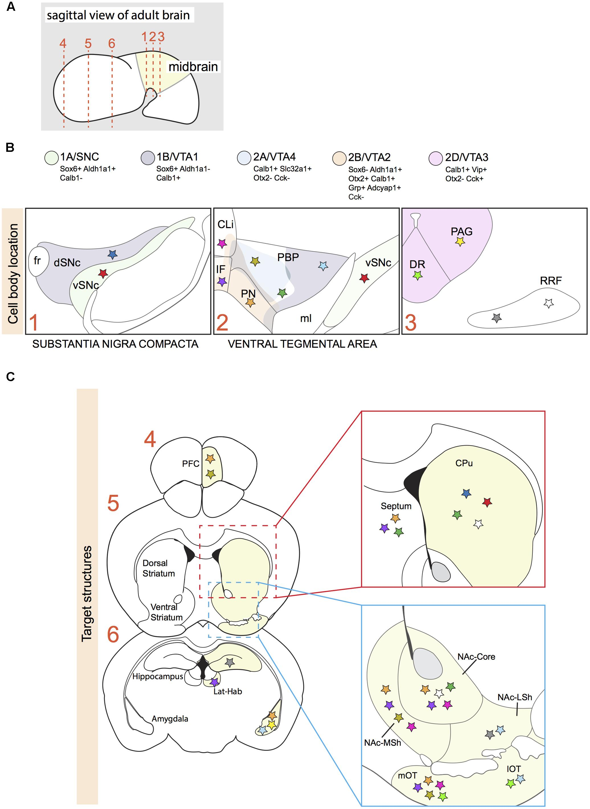 Frontiers Neuronal Subset Specific Migration And Axonal Wiring Ih 606 Diagram