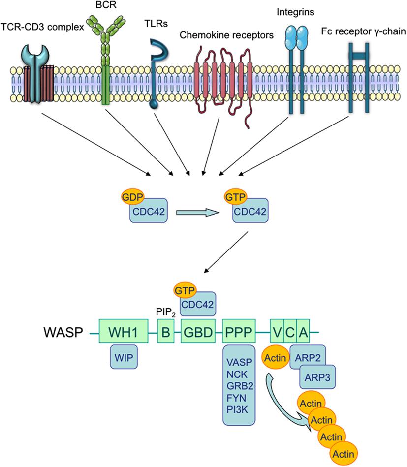 frontiers autoimmunity in wiskott�aldrich syndrome an