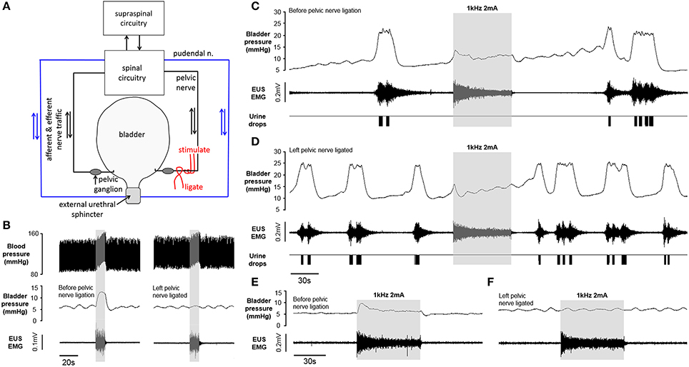 Frontiers | High Frequency Stimulation of the Pelvic Nerve