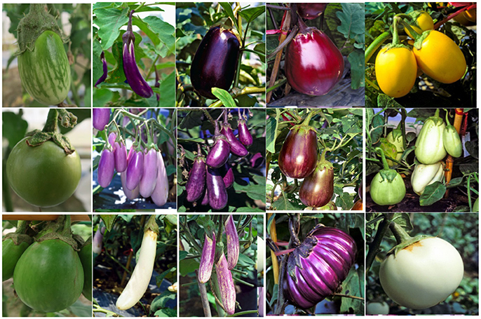 Frontiers World Vegetable Center Eggplant Collection