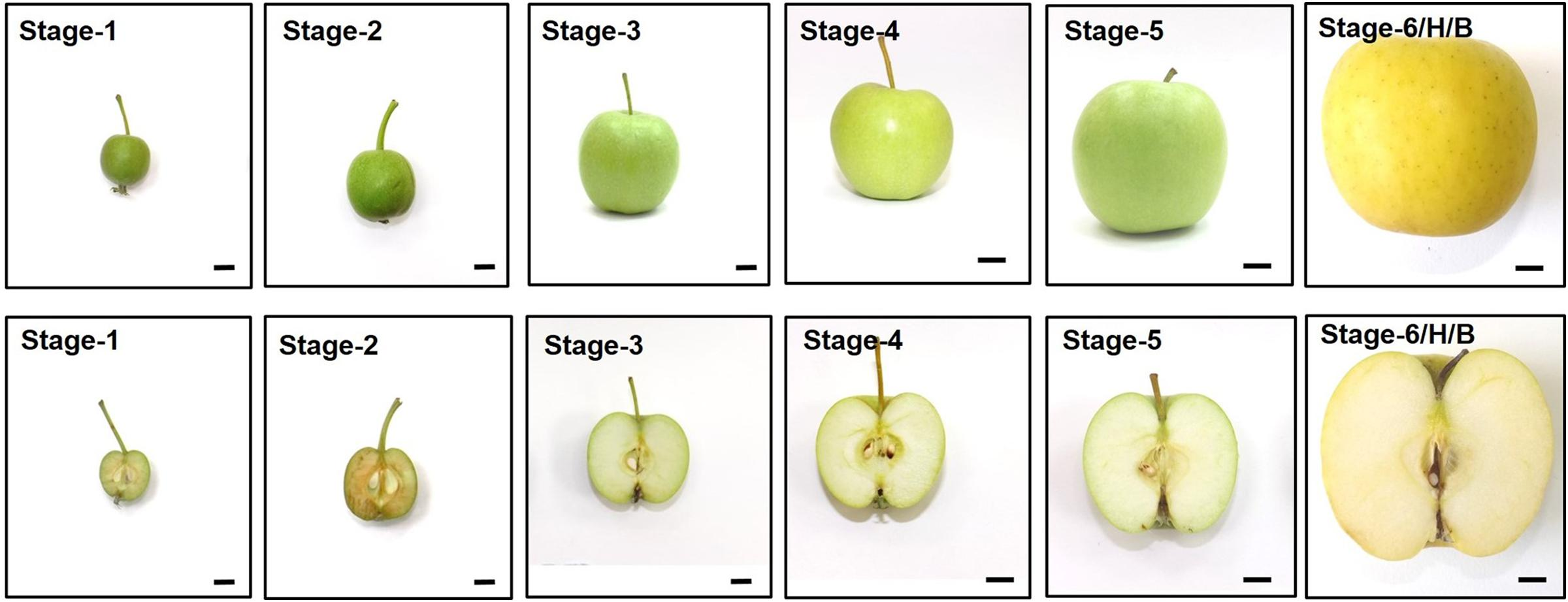 Frontiers | Different Preclimacteric Events in Apple Cultivars with