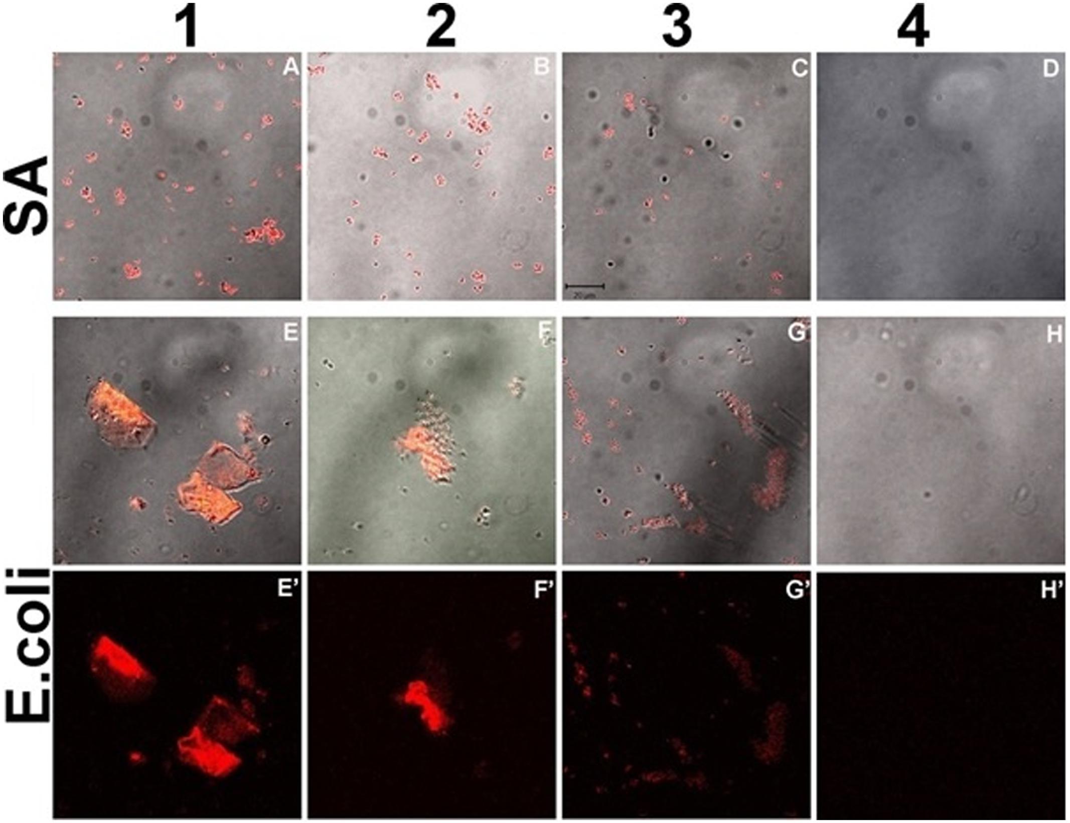 Frontiers | Curcumin Quantum Dots Mediated Degradation of Bacterial