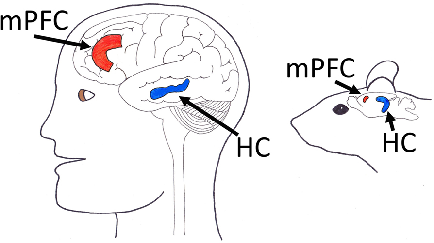 Figure 2 - Location of the medial prefrontal cortex (mPFC) and hippocampus (HC) in a human brain and a rat brain.