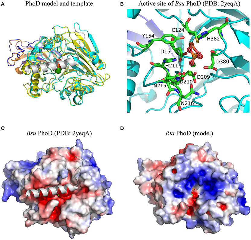 Frontiers | In Vitro and in Silico Evidence of Phosphatase