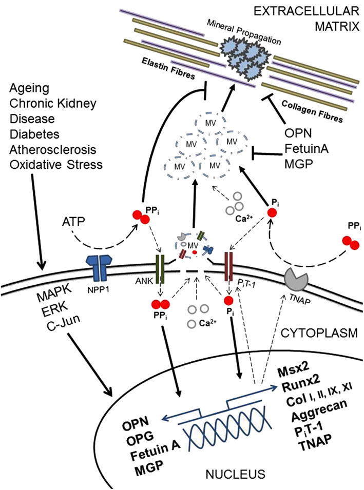 Frontiers | Mechanisms and Clinical Consequences of Vascular