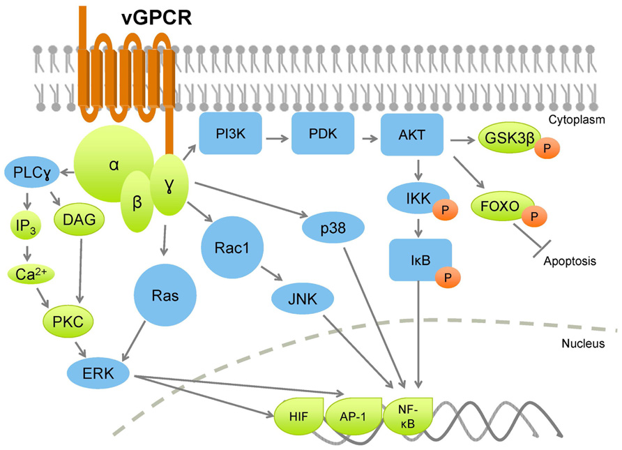 Frontiers | AKTivation of PI3K/AKT/mTOR signaling pathway by