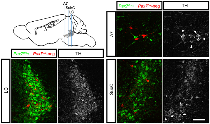 Frontiers Two Subpopulations Of Noradrenergic Neurons In