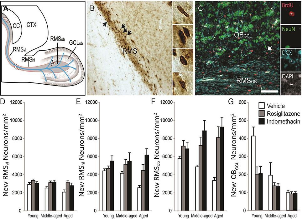 Frontiers   Indomethacin Increases Neurogenesis across Age Groups ...