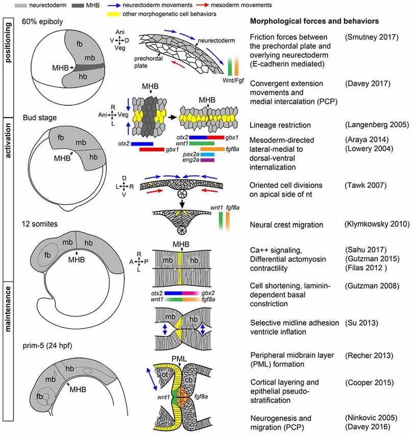 Frontiers Midbrain Hindbrain Boundary Morphogenesis At The