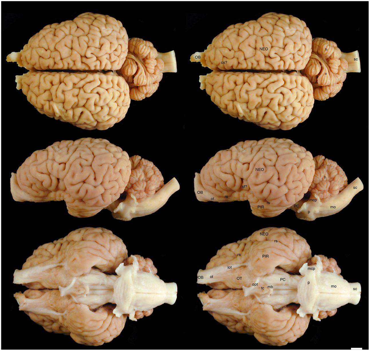 Frontiers | The Brain of the Black (Diceros bicornis) and White ...