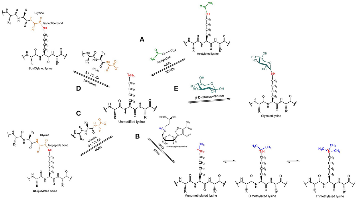 Frontiers | Lysine-Directed Post-translational Modifications