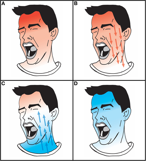 Figure 1 - Yawning causes the blood flow and the temperature of the brain to change.