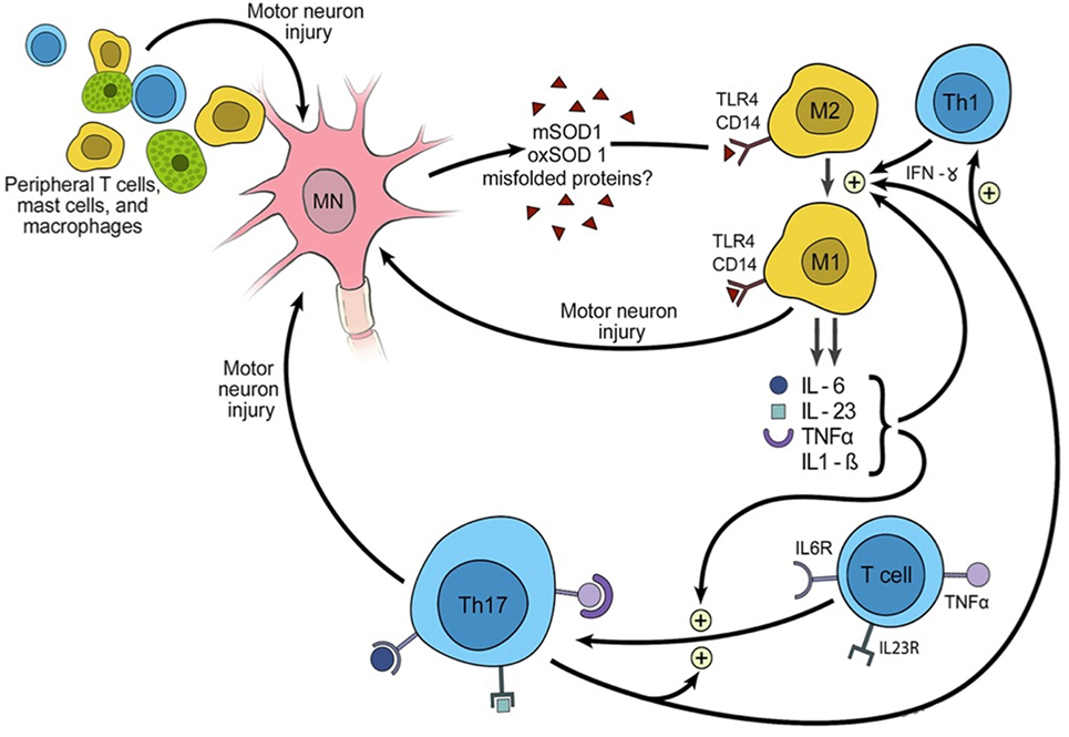 Frontiers | Immune Modulation in the Treatment of
