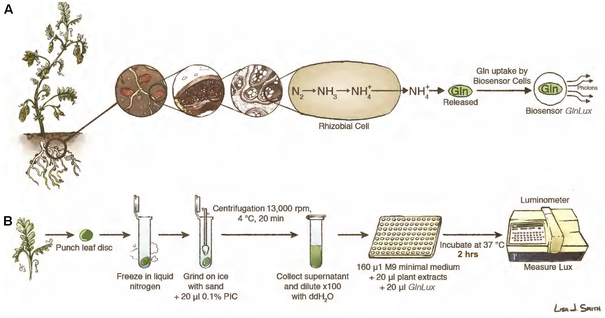 Leaf Based Glutamine FrontiersA Assay Biosensor Punch For odeCrxBW