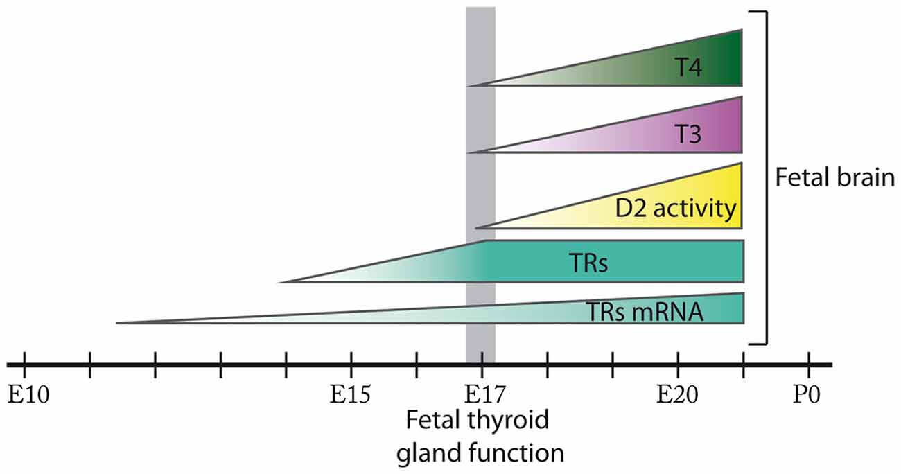 Frontiers Thyroid Hormone Availability And Action During Brain