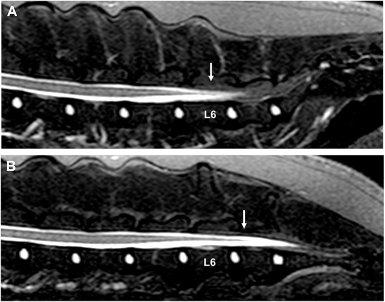 Frontiers Dynamic Lumbosacral Magnetic Resonance Imaging In A Dog With Tethered Cord Syndrome With A Tight Filum Terminale Veterinary Science The indications for sectioning the filum terminale in this situation are not well characterized. dog with tethered cord syndrome