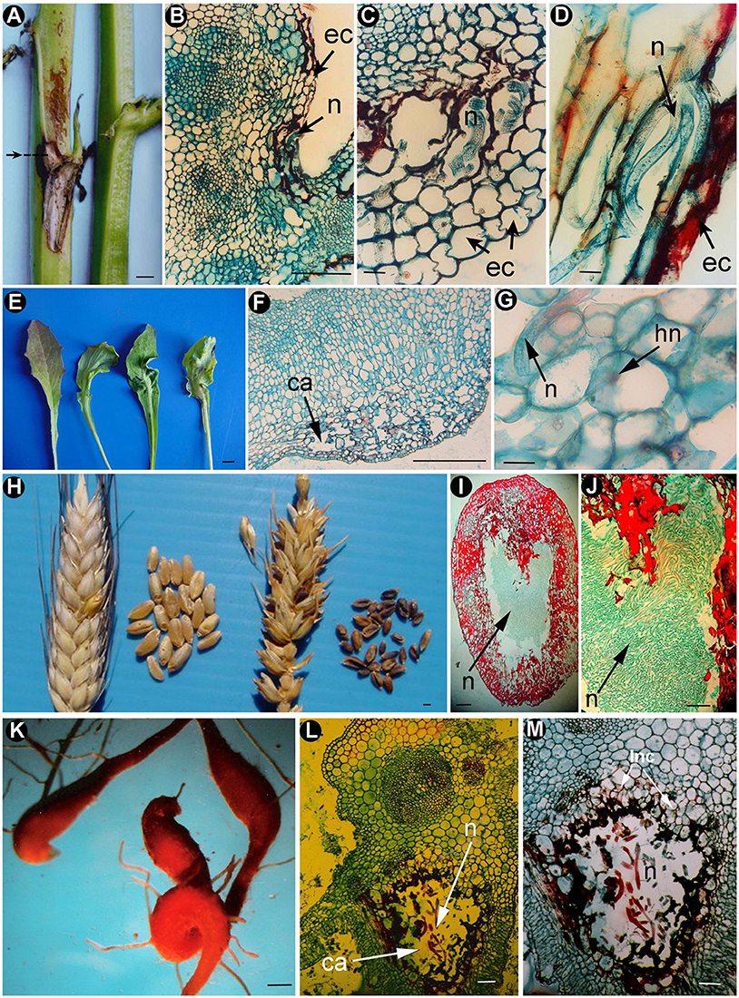 Frontiers Anatomical Alterations In Plant Tissues Induced