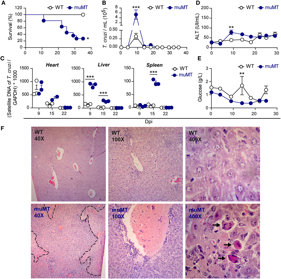 Frontiers | Unconventional Pro-inflammatory CD4+ T Cell Response in