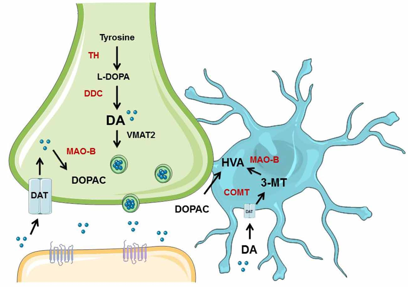 Frontiers | Metabolism of Dopamine in Nucleus Accumbens Astrocytes ...