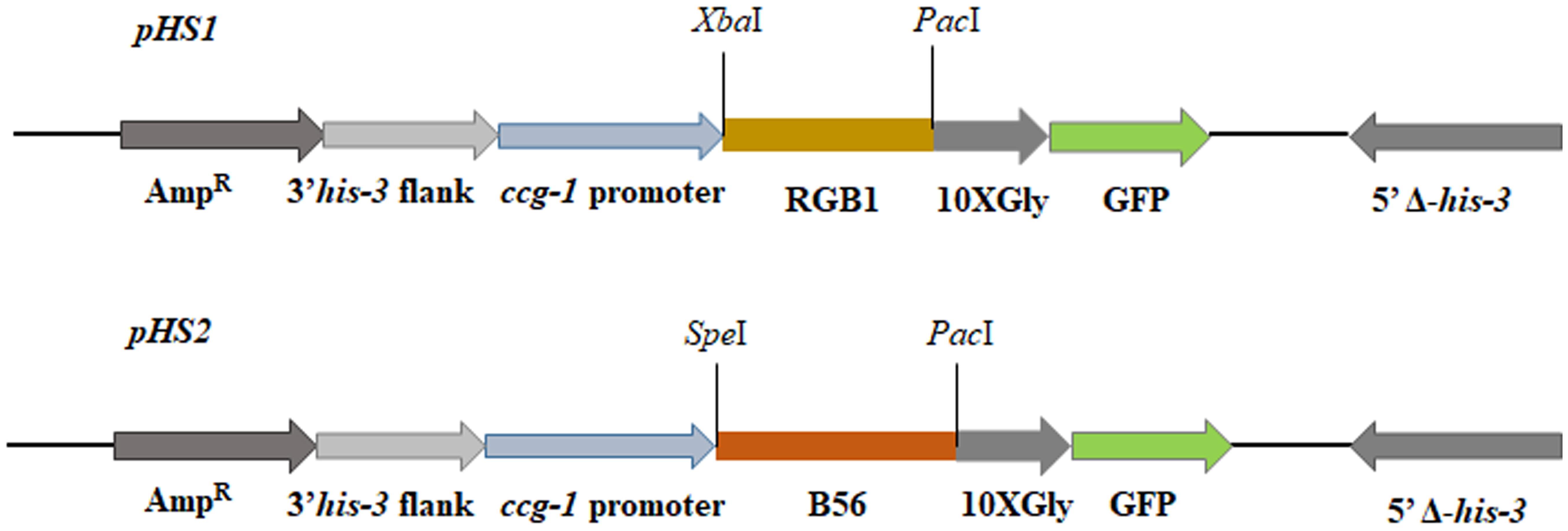 Honda Of Princeton >> Frontiers | The Neurospora crassa PP2A Regulatory Subunits ...