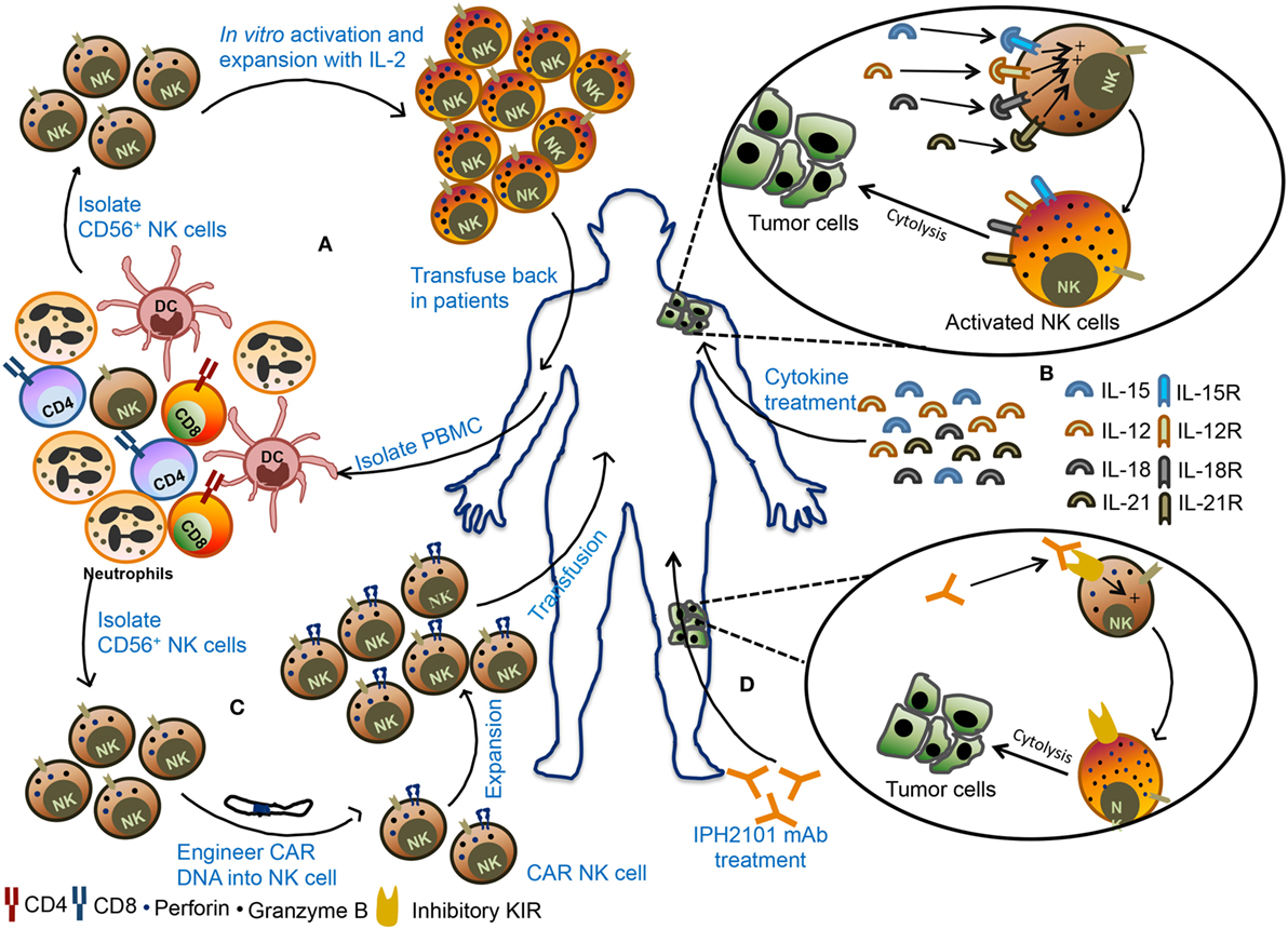 frontiers   the molecular mechanism of natural killer cells function