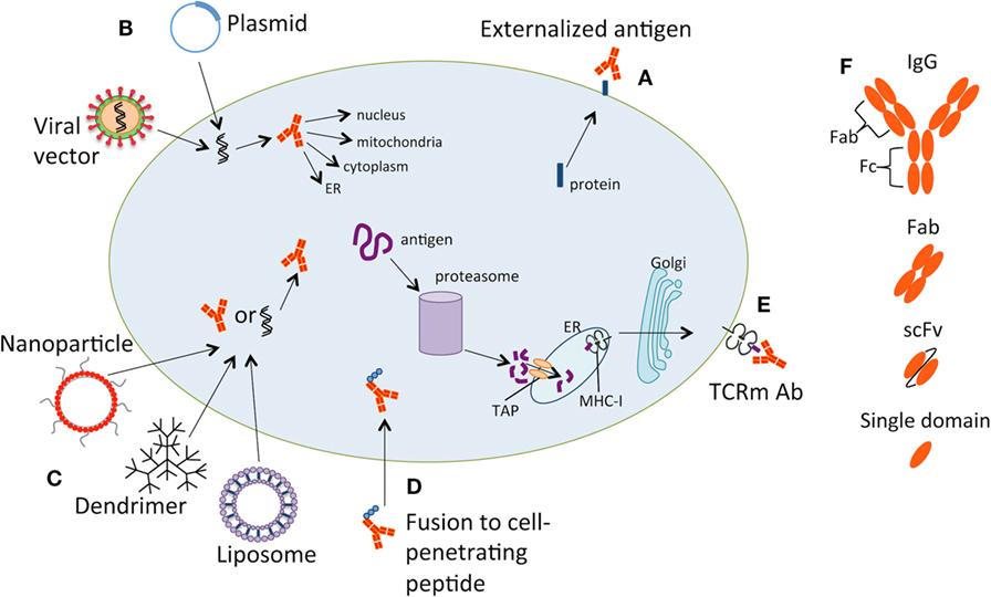Frontiers | Therapeutic Antibodies against Intracellular Tumor ...