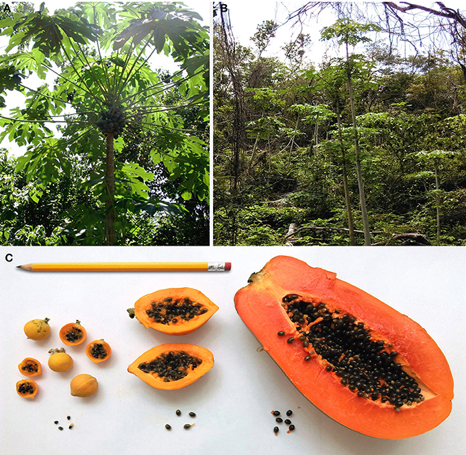 Frontiers | Domestication and Genetics of Papaya: A Review