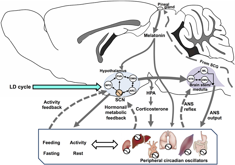 the structure of the autonomic nervous system and its effects to physiological and behavioral functi The autonomic can be further subdivided into the parasympathetic, sympathetic and enteric nervous systems the functional divisions are based around the various jobs of the nervous system and how it accomplishes them, and the structural divisions are based upon the structure of the nervous system 5 votes.