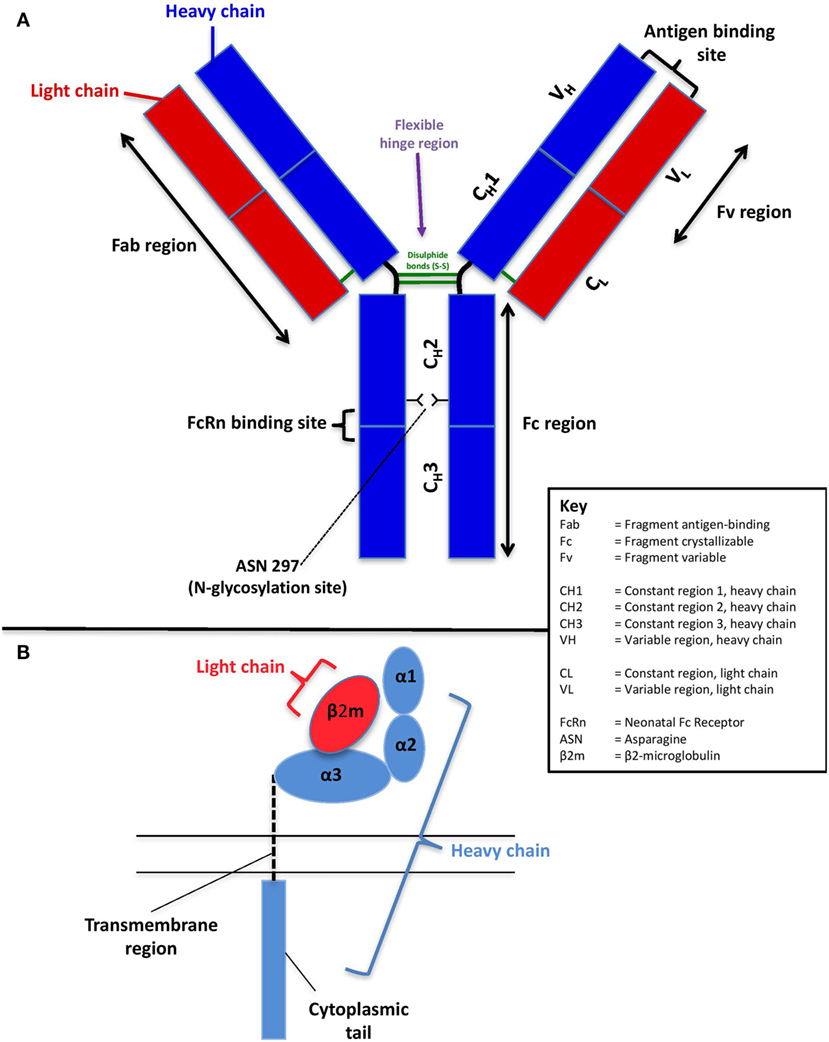 Frontiers | Factors Affecting the FcRn-Mediated