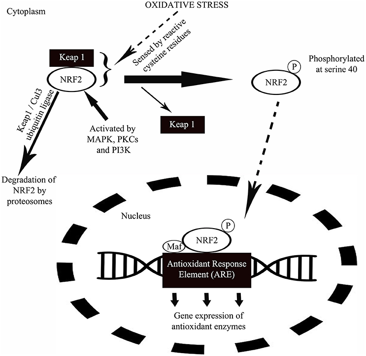 Oxidative Stress In Oral Diseases