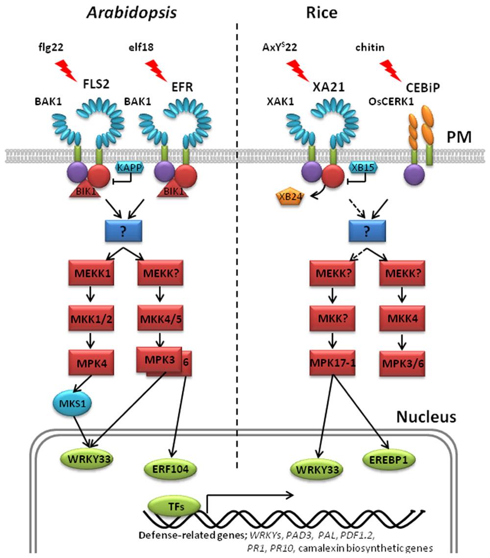 brassinosteroid receptor bri1