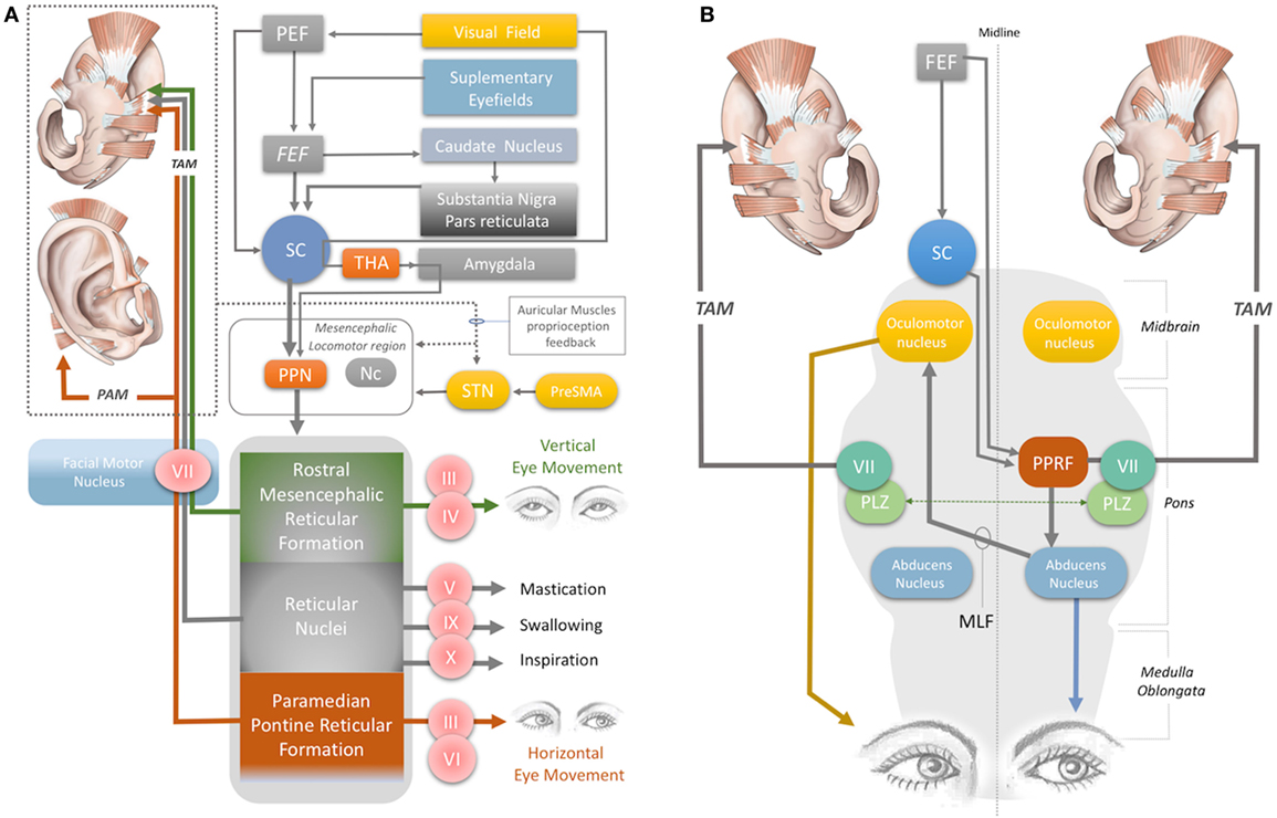 Frontiers Neuroprosthetics For Auricular Muscles Neural Networks 57 08 Wiring Diagram Prs