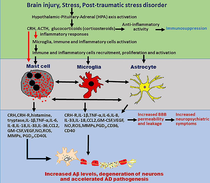 Frontiers | Mast Cell Activation in Brain Injury, Stress