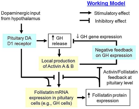 Frontiers   Grass Carp Follisatin: Molecular Cloning, Functional