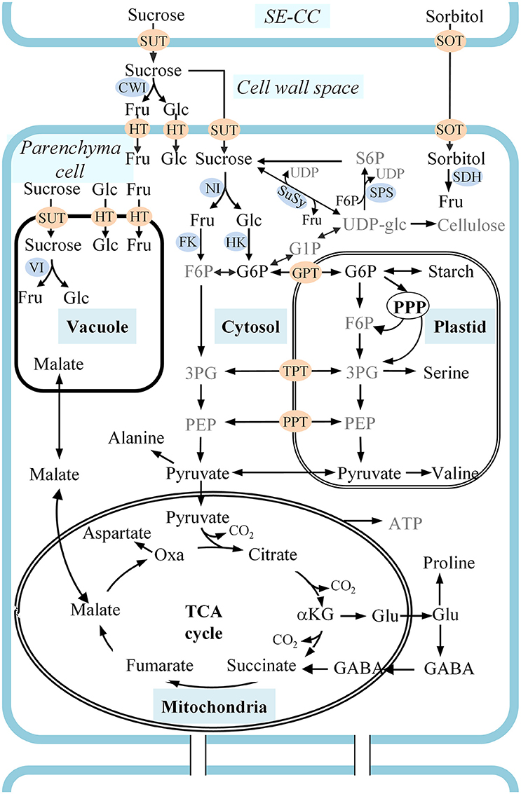 Respiratory System Labeling Diagram In Addition Gc Ms Diagram Electron