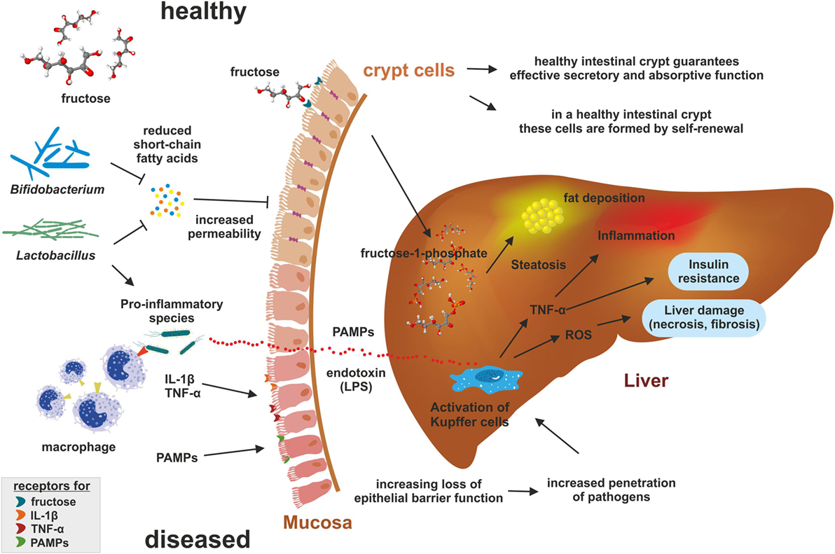 High Fructose Diet In Adolescence May >> Frontiers Fructose A Dietary Sugar In Crosstalk With Microbiota