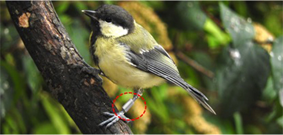 Figure 2 - A great tit from Wytham Woods, Oxford.