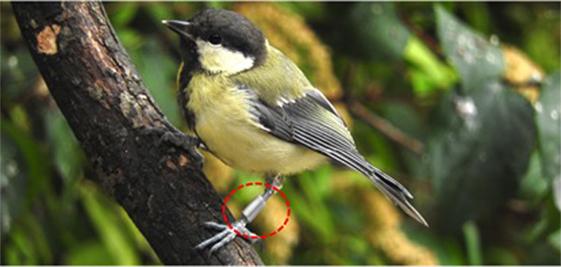 איור 2 - ירגזי מצוי מיער ווייתאם באוקספורד העיגול האדום מסמן את תג הזיהוי האלקטרוני (תג RIFD) שהצמידו החוקרים לרגל הירגזי. לכל תג יש קוד ייחודי שנקלט במחשב כשהציפור מבקרת באחד ממתקני ההאכלה.