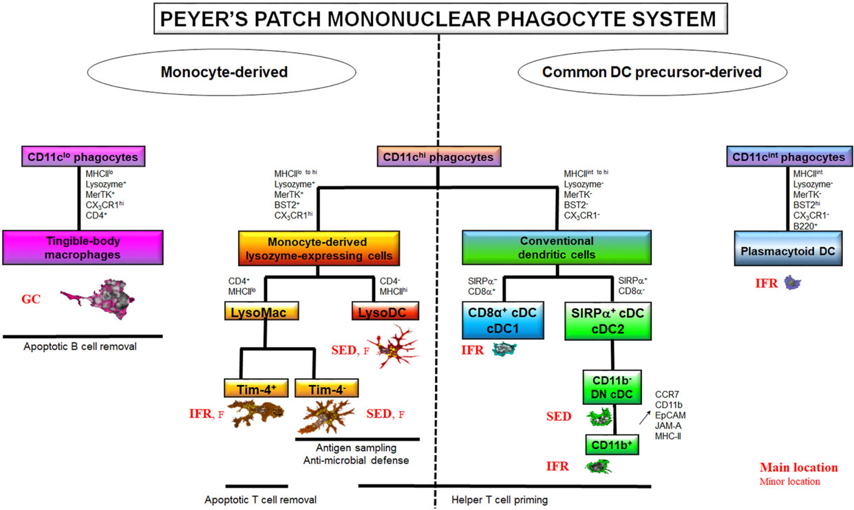 Frontiers The Peyers Patch Mononuclear Phagocyte System At Steady Process Flow Diagram For Jam