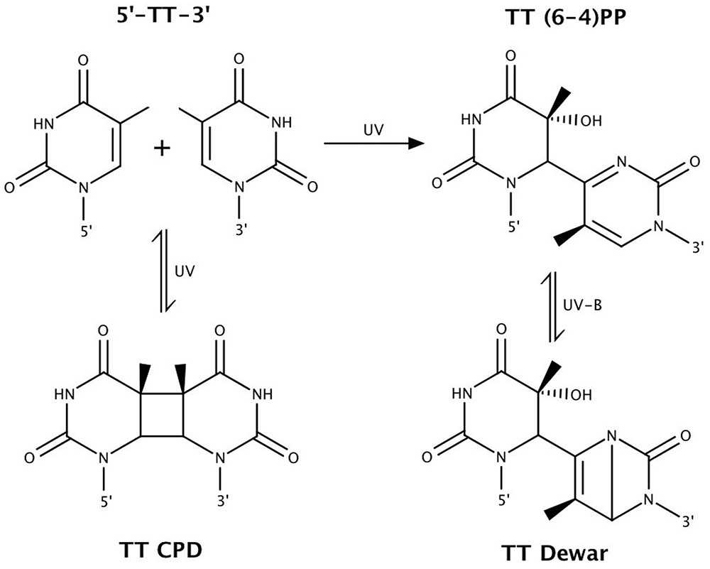 Frontiers | DNA Repair and Photoprotection: Mechanisms of ...