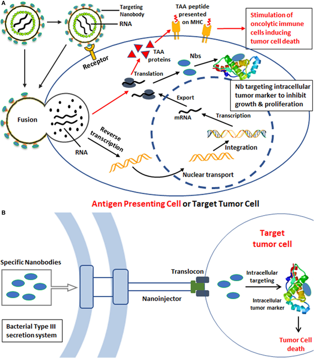 Frontiers | Nanobody-Based Delivery Systems for Diagnosis and