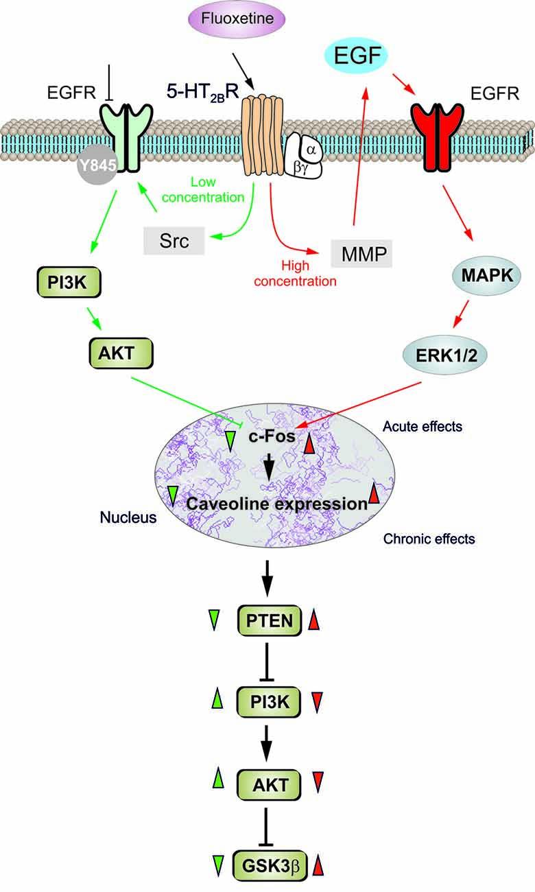 Frontiers Biphasic Regulation Of Caveolin 1 Gene
