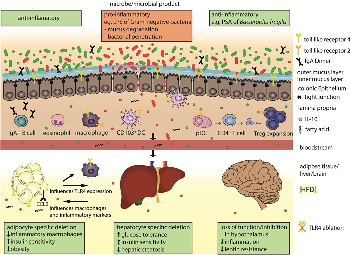 Frontiers | The Immune System Bridges the Gut Microbiota with