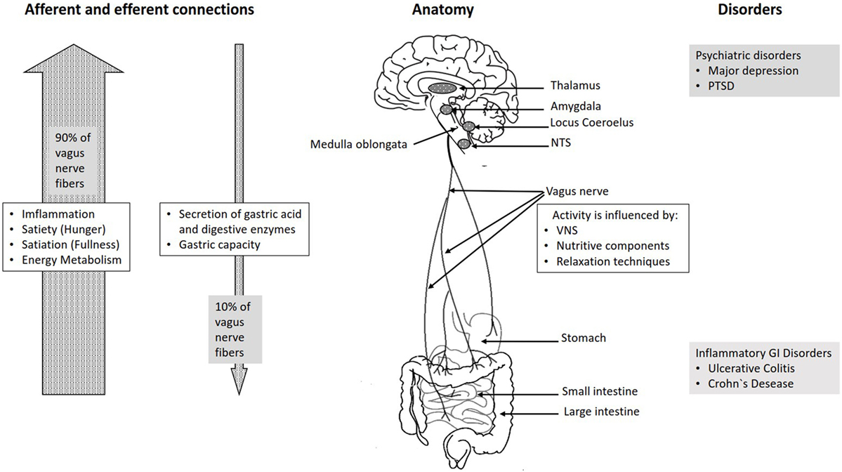 Frontiers Vagus Nerve As Modulator Of The Braingut Axis In