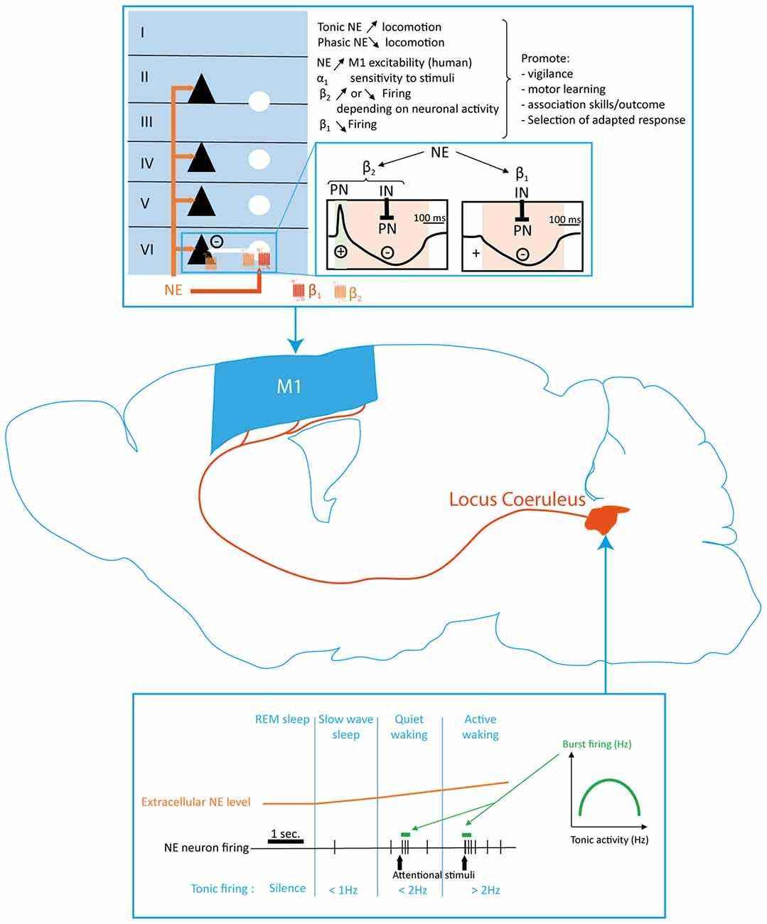 Frontiers Monoaminergic Modulation Of Motor Cortex Function Schematic For Remington 1100 Gnewsinfocom